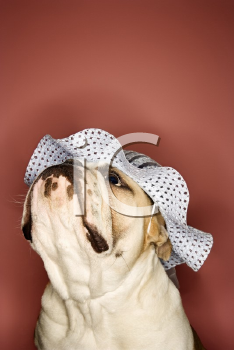 Royalty Free Photo of an English Bulldog Wearing a Bonnet
