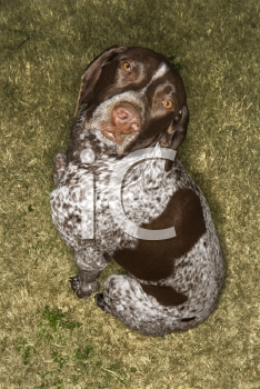 Royalty Free Photo of a German Shorthaired Pointer Sitting