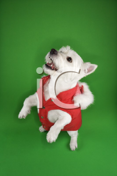 Royalty Free Photo of a White Terrier Dog Standing on It's Hind Legs