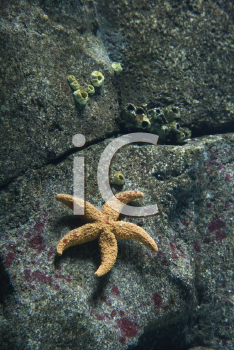 Royalty Free Photo of a Starfish on a Rock Surface in an Aquarium in Lisbon, Spain