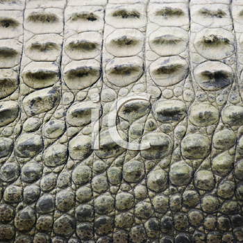 Royalty Free Photo of a Close-up of the Side of a Crocodile Showing Scaly Skin, Australia