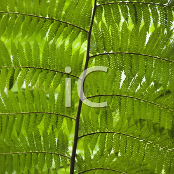 Royalty Free Photo of a Close-up of Fern Leaves, Australia