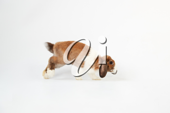 Studio Portrait Of Miniature Brown And White Flop Eared Rabbit Hopping Across White Background