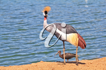 Elegant and graceful bird with magnificent plumage crest on the head. He lives near bodies of water. Park safari in Tel Aviv