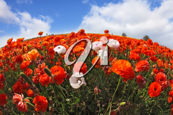 Picturesque field of the blossoming red-orange and white buttercups, photographed a lens Fish eye