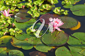 A quiet corner of the picturesque park in Europe. A pond, overgrown with blooming lilies