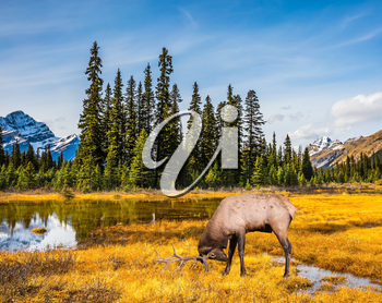 Magnificent deer with branched antlers grazes in the grass near the water. The beautiful nature in the northern Rocky Mountains of Canada