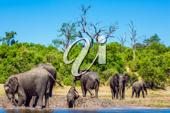 Herd of African elephants crossing river in shallow water. Watering in the Okavango Delta. Chobe National Park in Botswana. The concept of active and exotic tourism