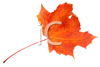 Red maple autumn leaf on a white background