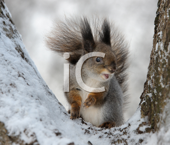 Royalty Free Photo of a Squirrel in a Tree in Winter