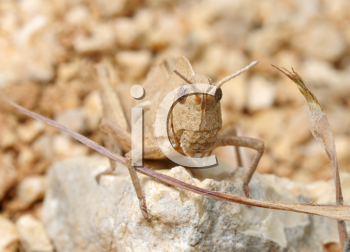 Royalty Free Photo of a Grasshopper Blending In to the Ground