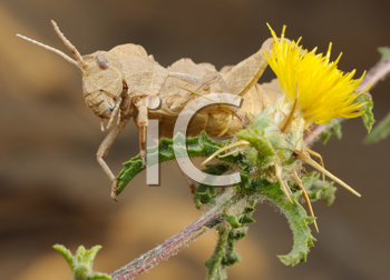 Royalty Free Photo of a Grasshopper on a Plant With a Yellow Flower