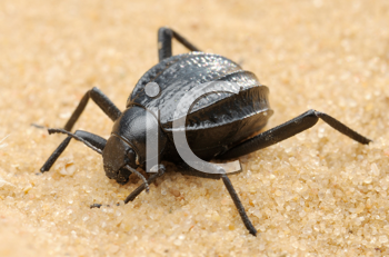 Royalty Free Photo of a Beetle in the Desert