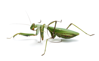 Praying mantis, isolated on a white background