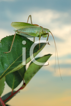 Royalty Free Photo of a Grasshopper on a Green Leaf