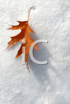 Royalty Free Photo of a Leaf on Snow