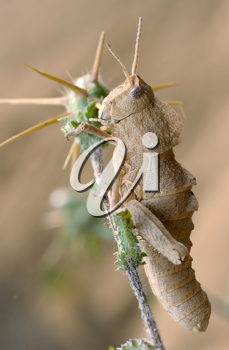 Yellow grasshopper on the prickly plant in Israel