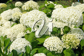 Large white blossoms of hydrangea in the park