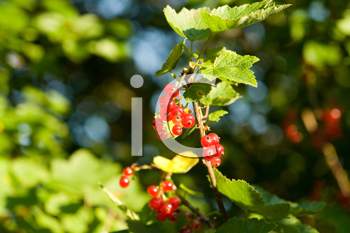 Royalty Free Photo of Red Currants