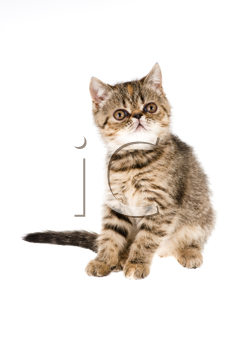 Striped fluffy kitten isolated on white background