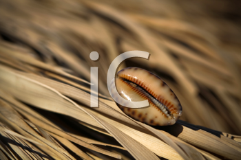 Royalty Free Photo of a Shell on the Dried Leaves of Palm Trees
