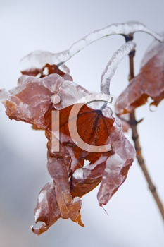 Royalty Free Photo of Icy Maple Leafs