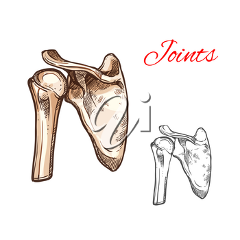 Joint and bone of human shoulder isolated sketch. Anatomical illustration of skeleton part with scapula, humeral head and clavicle for medicine, healthcare, orthopedics and traumatology themes design