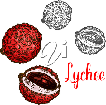 Lychee fruit sketch of exotic tropical berry. Whole and sliced chinese litchi with pink peel, sweet juicy flesh and brown seed icon of fruity ingredient for juice, drink or dessert label design