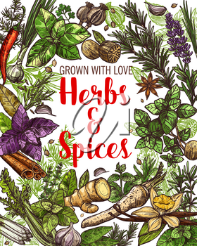 Food condiments, vegetable seasonings, culinary herbs and spices sketches. Parsley, chili pepper and garlic, vanilla, cinnamon and ginger root, basil, rosemary and thyme, nutmeg and anise vector frame