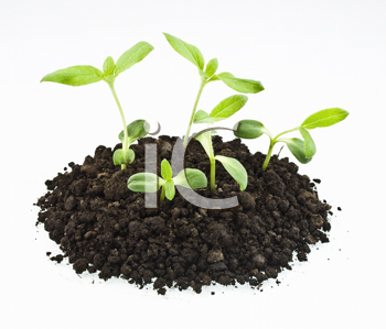 young sunflowers sprouts in the soil isolated over white