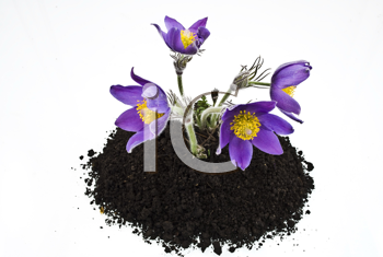 Royalty Free Photo of Violet Flowers in Soil