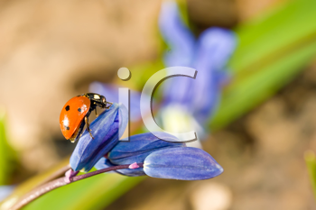 Ladybug on snowdrop flower. Spring has come