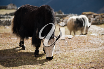 Yaks in highland village in Himalayas. Travel to Nepal