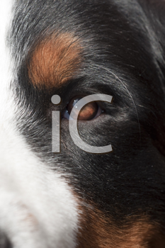 Royalty Free Photo of a Closeup of a Bernese Mountain Dog