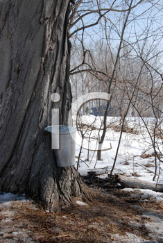 Royalty Free Photo of a Sap Bucket on a Tree