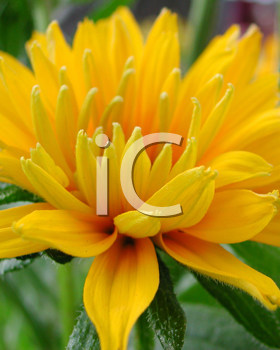 Royalty Free Photo of a Flower