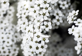blossoming bush with white flowers