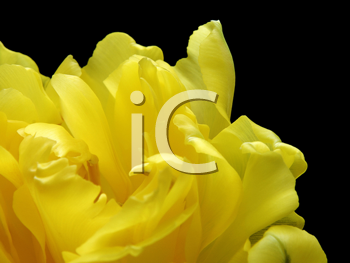fragment of yellow tulip isolated on black