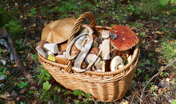 Full basket with edible mushrooms