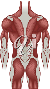 Royalty Free Clipart Image of the Muscles of the Human Back