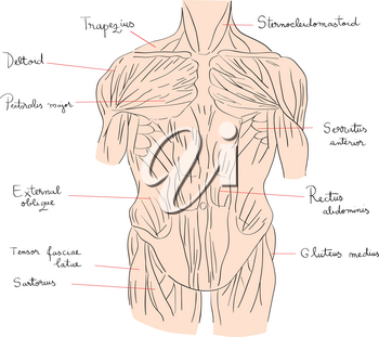 Hand drawn illustration of the torso muscles isolated on white, artistic anatomy graphic study