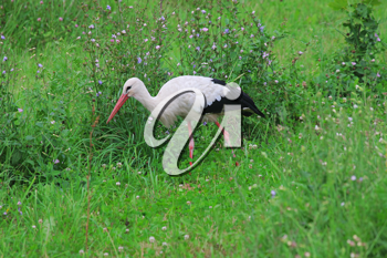 Royalty Free Photo of a Stork in a Field