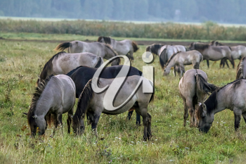 Herd of horses grazing in a meadow in the mist. Horses in a foggy meadow in autumn. Horses and foggy morning in Kemeri National Park, Latvia. Wild horses grazing in the meadow on misty summer morning.