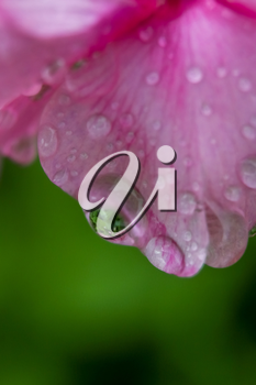 Pink flower closeup with water drops.
