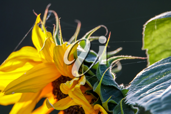 Color flowers. Blooming flowers. Flowers on a green grass.  Meadow with flowers. Wild flowers. Nature flower. Flowers on field. Blooming flowers. Sunflower is tall plant of the daisy family, with very large golden-rayed flowers.