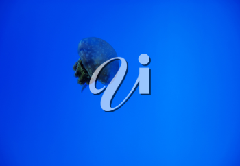 Solitary jellyfish in blue sea as a concept of wildlife