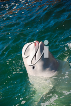 Beautiful white whale swimming in water as a concept of wild nature