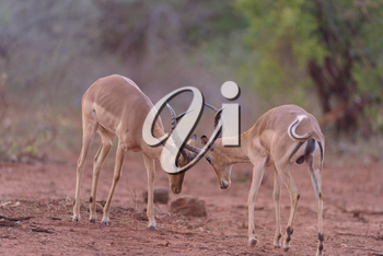Impala antelopes fighting in the wilderness of Africa
