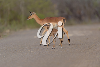Impala antelope in the wilderness of Africa