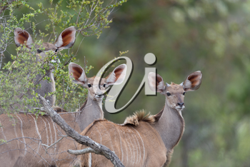 Kudu Antelope Portrait in the wilderness of Africa